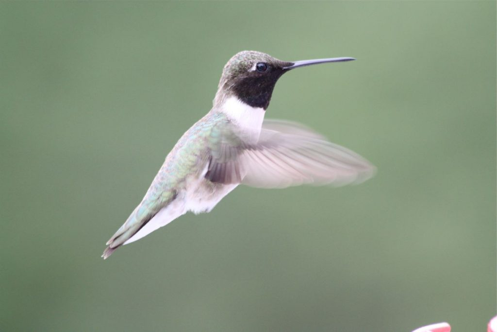 Male Black-chinned Hummingbird (Archilochus alexandri)
