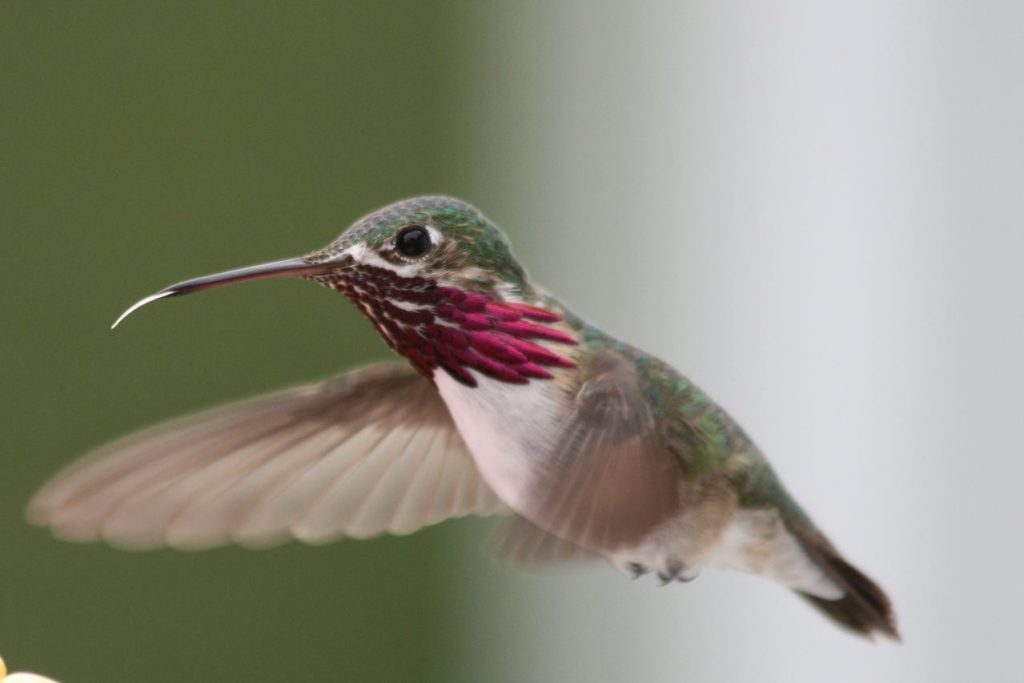 Male Calliope Hummingbird (Selasphorus calliope)