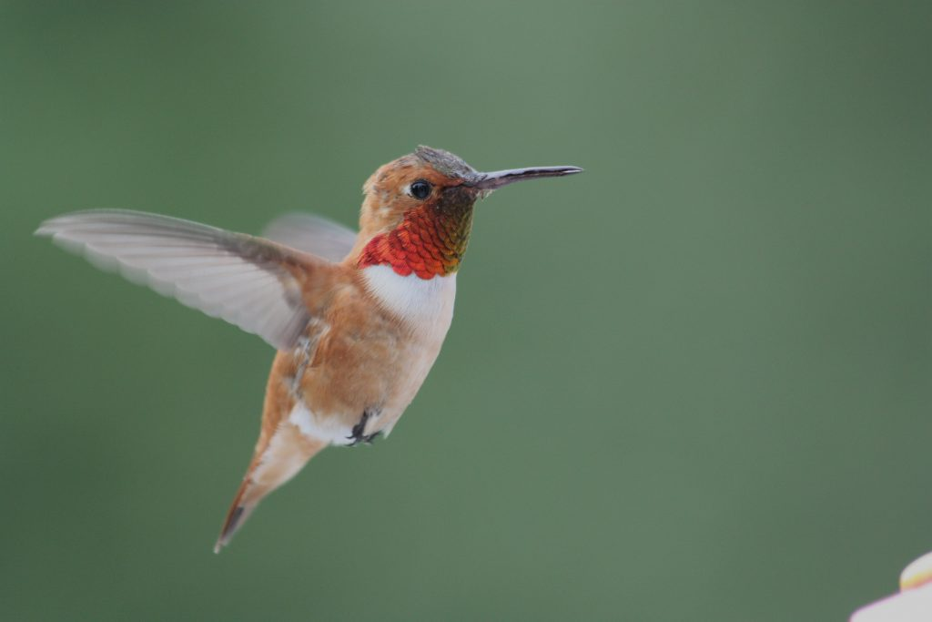 Male Rufous Hummingbird (Selasphorus rufus)