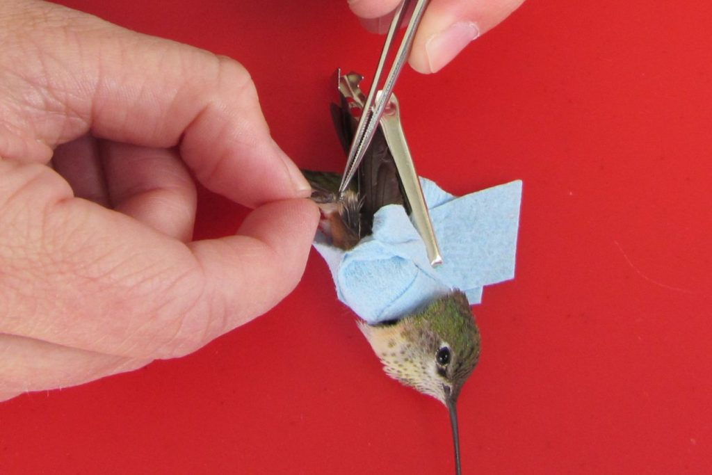 Photo: Hummingbird Banding