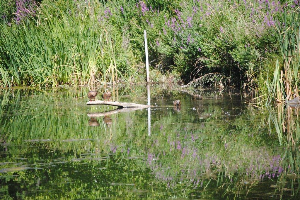 Header: Ginty's Pond