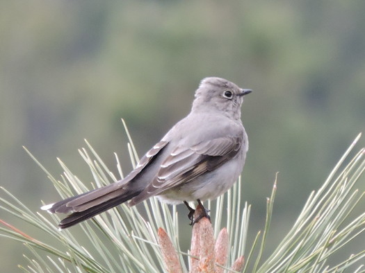 Photo: Townsend's Solitaire